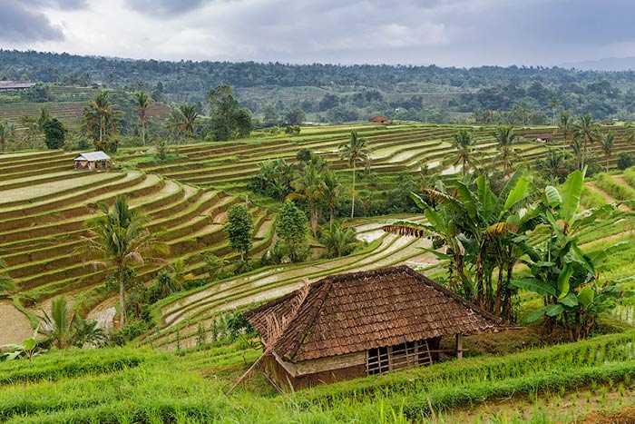 Рисовые террасы Джатилувих 2